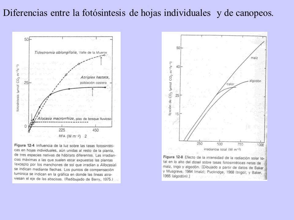 Diferencias entre la fotósintesis de hojas individuales y de canopeos.