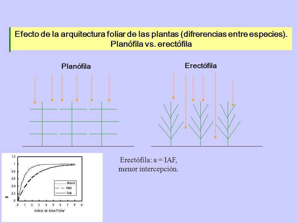 Planófila vs. erectófila
