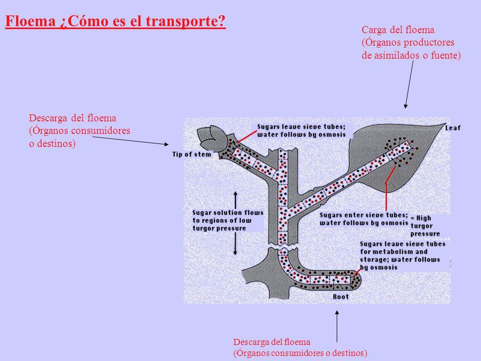 Floema ¿Cómo es el transporte