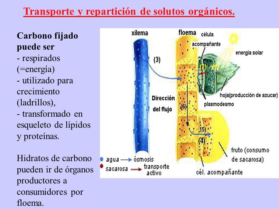Transporte y repartición de solutos orgánicos.