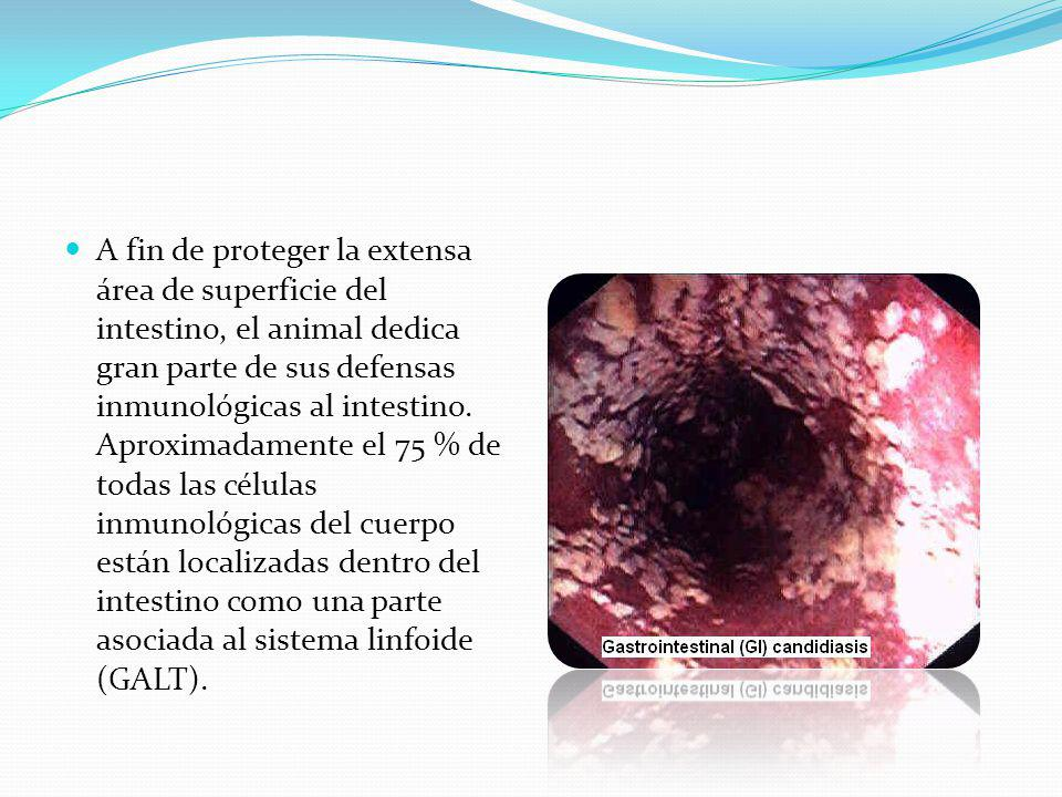 A fin de proteger la extensa área de superficie del intestino, el animal dedica gran parte de sus defensas inmunológicas al intestino.