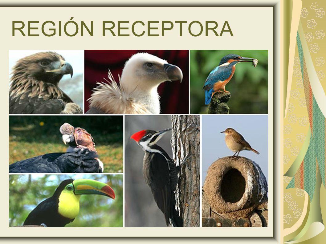REGIÓN RECEPTORA 11
