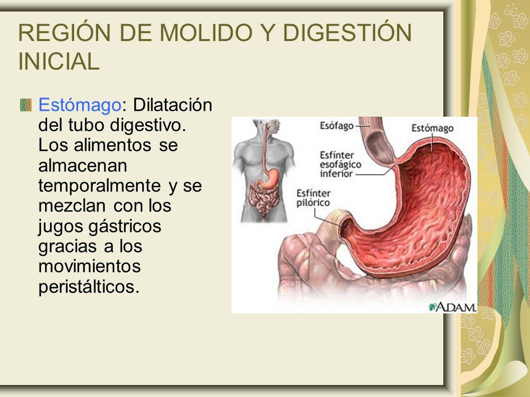 REGIÓN DE MOLIDO Y DIGESTIÓN INICIAL