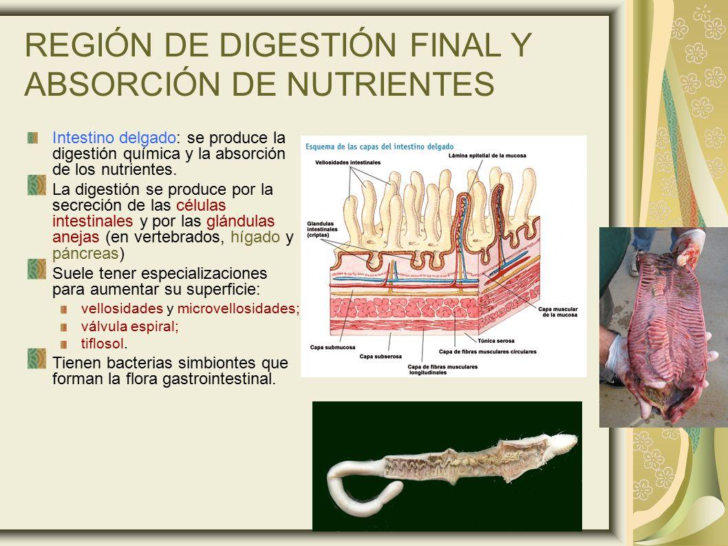 REGIÓN DE DIGESTIÓN FINAL Y ABSORCIÓN DE NUTRIENTES