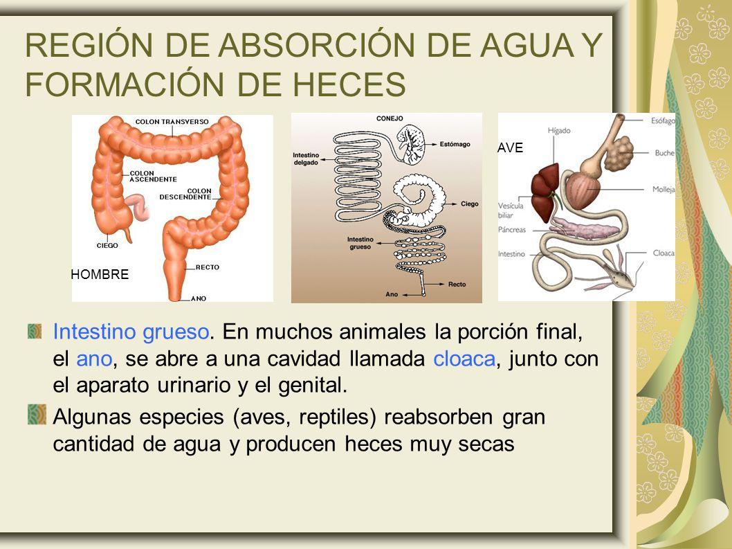 REGIÓN DE ABSORCIÓN DE AGUA Y FORMACIÓN DE HECES