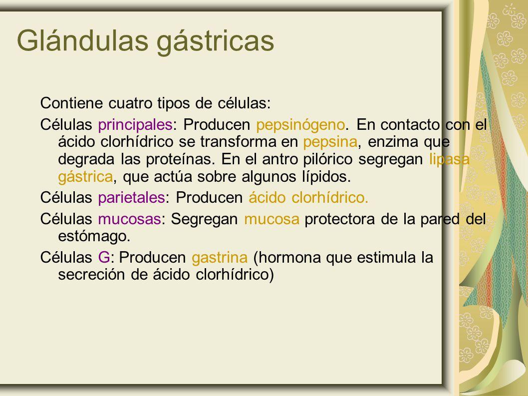 Glándulas gástricas Contiene cuatro tipos de células: