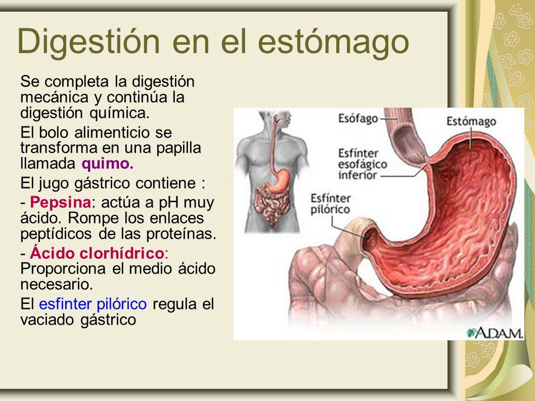 Digestión en el estómago