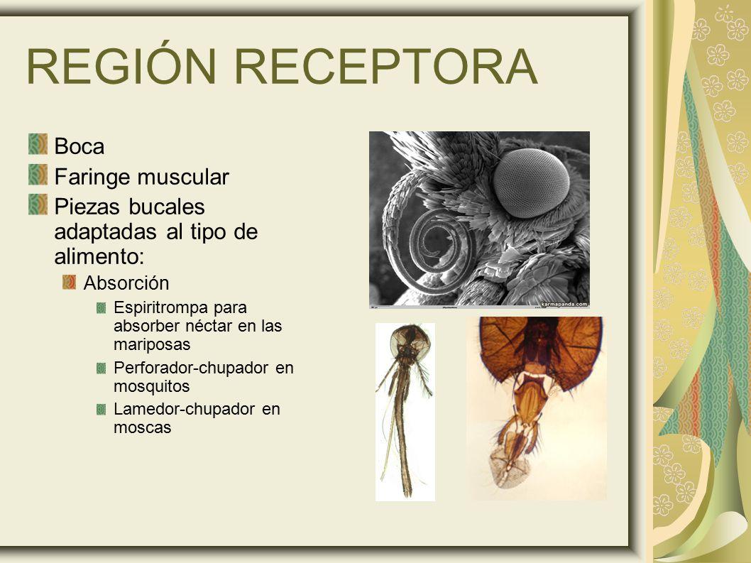 REGIÓN RECEPTORA Boca Faringe muscular