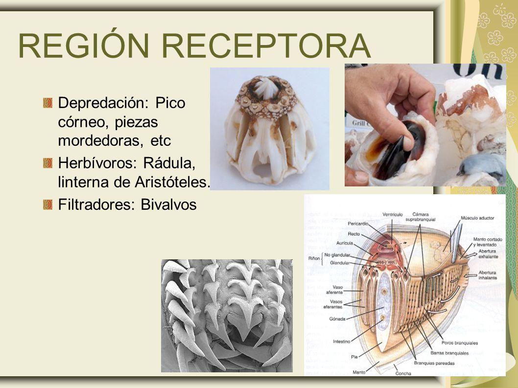 REGIÓN RECEPTORA Depredación: Pico córneo, piezas mordedoras, etc