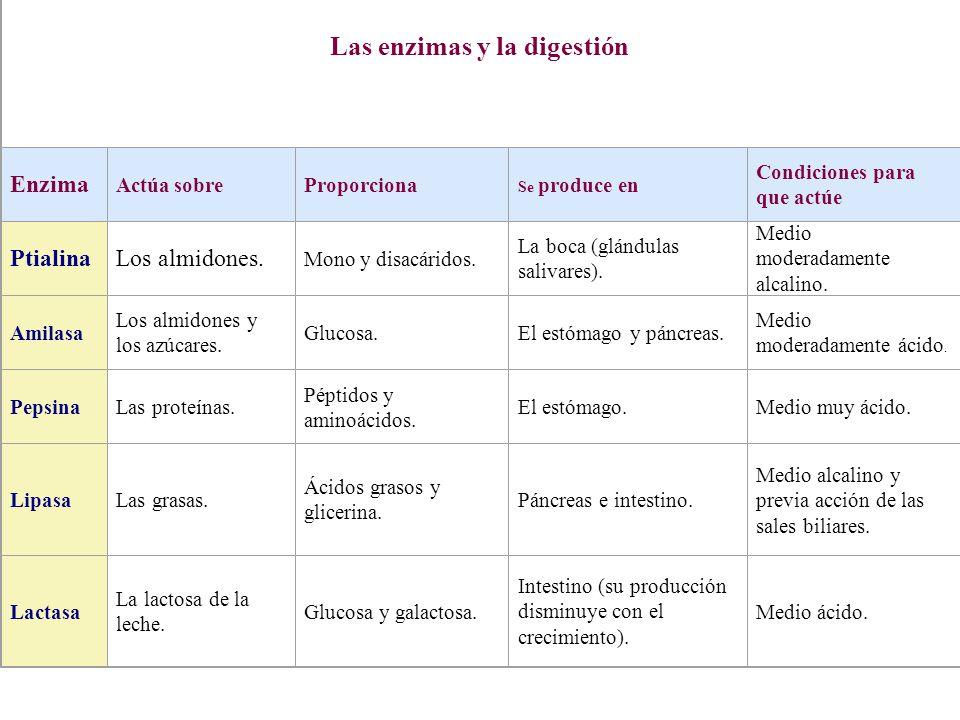 Las enzimas y la digestión