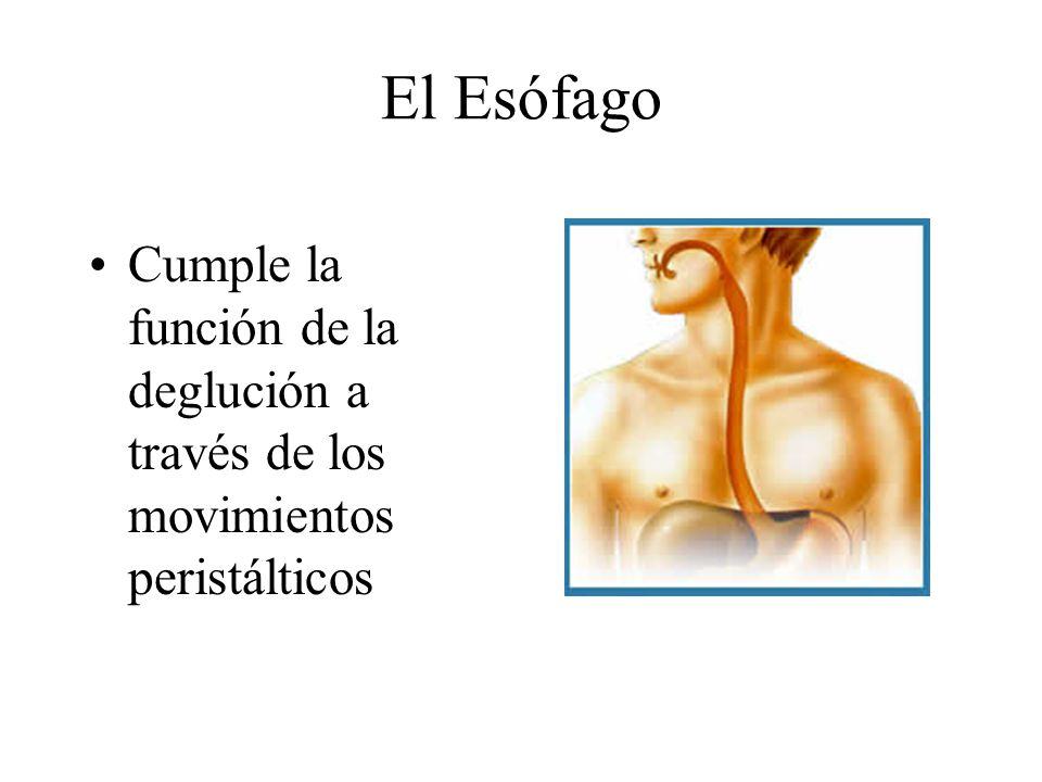 El Esófago Cumple la función de la deglución a través de los movimientos peristálticos