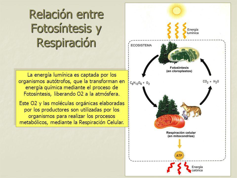 Relación entre Fotosíntesis y Respiración