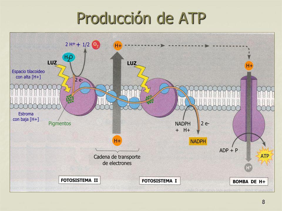 Producción de ATP