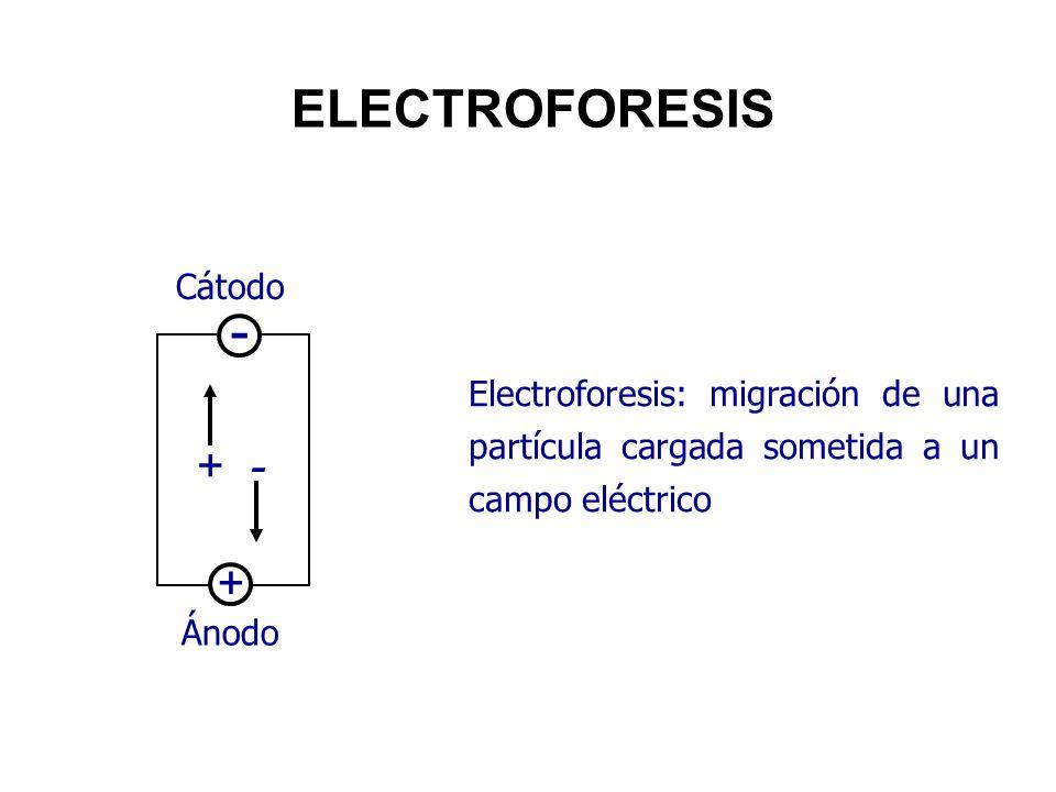 - ELECTROFORESIS + Cátodo