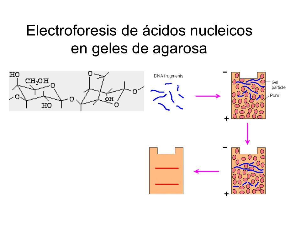 Electroforesis de ácidos nucleicos en geles de agarosa