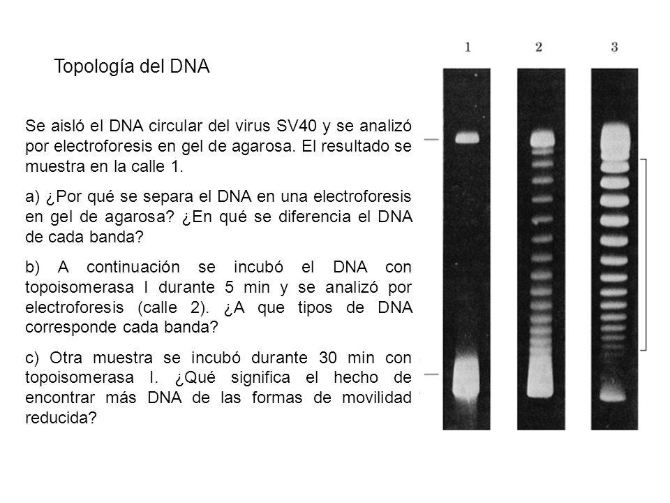 Topología del DNA Se aisló el DNA circular del virus SV40 y se analizó por electroforesis en gel de agarosa. El resultado se muestra en la calle 1.