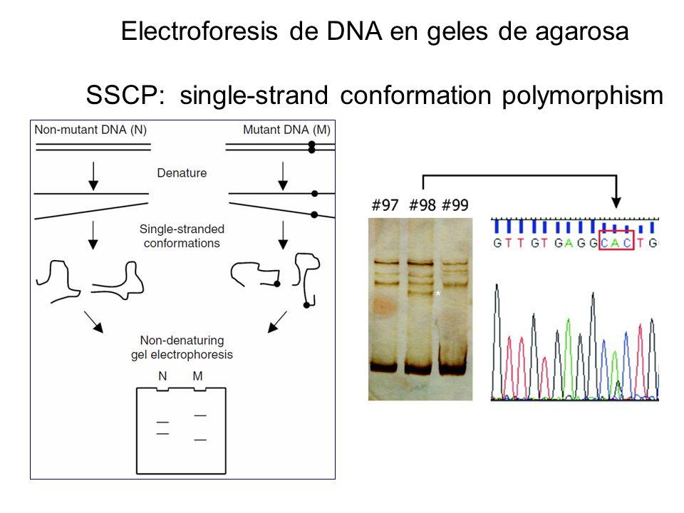Electroforesis de DNA en geles de agarosa