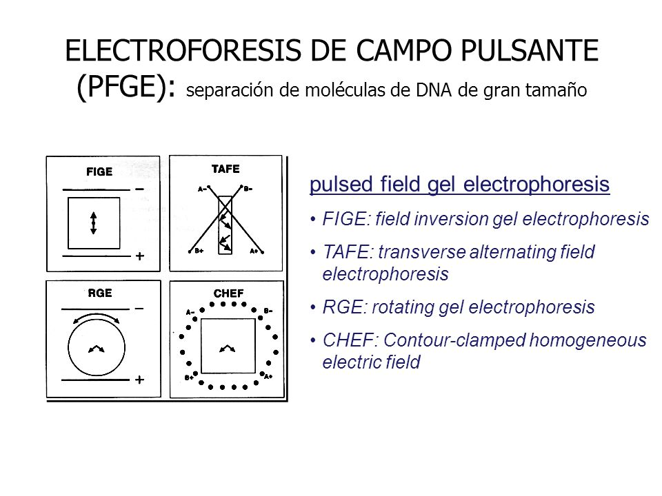 ELECTROFORESIS DE CAMPO PULSANTE (PFGE): separación de moléculas de DNA de gran tamaño
