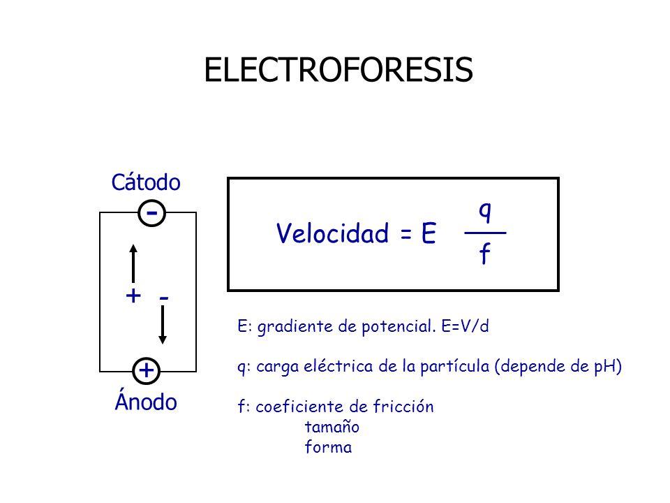 - ELECTROFORESIS + q Velocidad = E f Cátodo Ánodo