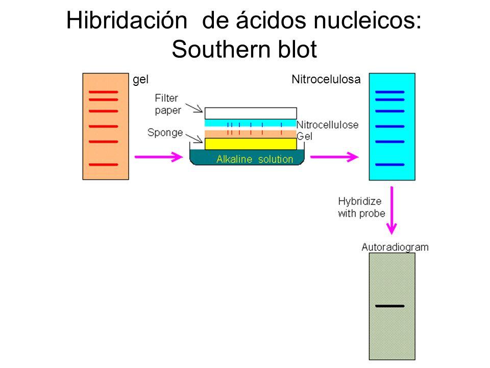 Hibridación de ácidos nucleicos: Southern blot