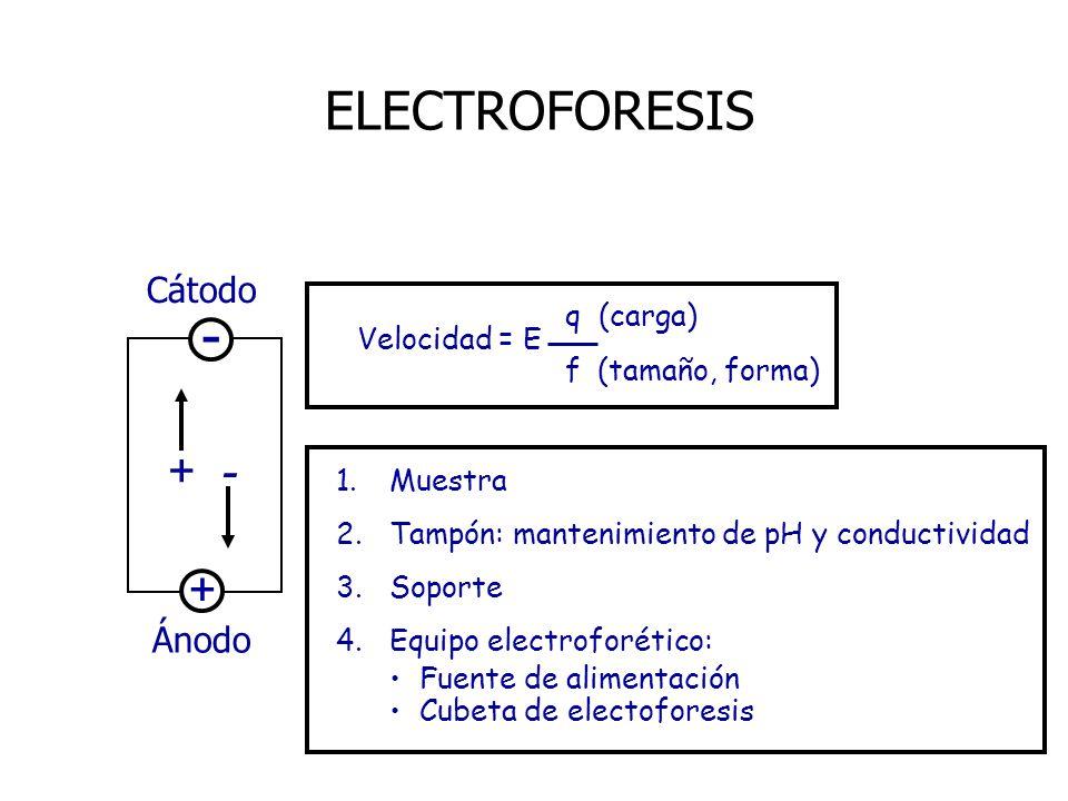 - ELECTROFORESIS + Cátodo Ánodo q (carga) Velocidad = E