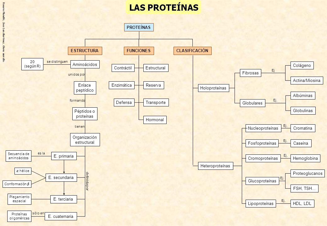LAS PROTEÍNAS PROTEÍNAS ESTRUCTURA CLASIFICACIÓN FUNCIONES Estructural