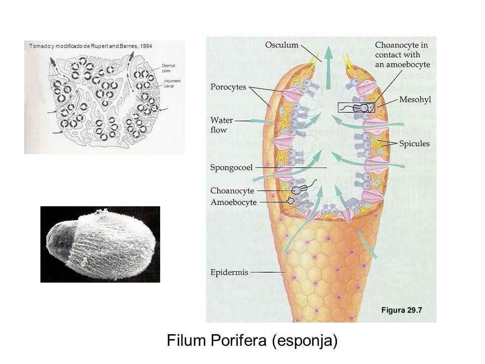 Filum Porifera (esponja)