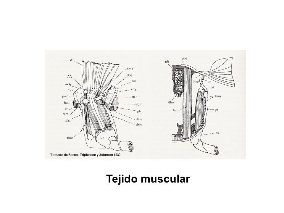 movmiento Tomado de Borror, Triplehorn y Johnson,1989 Tejido muscular