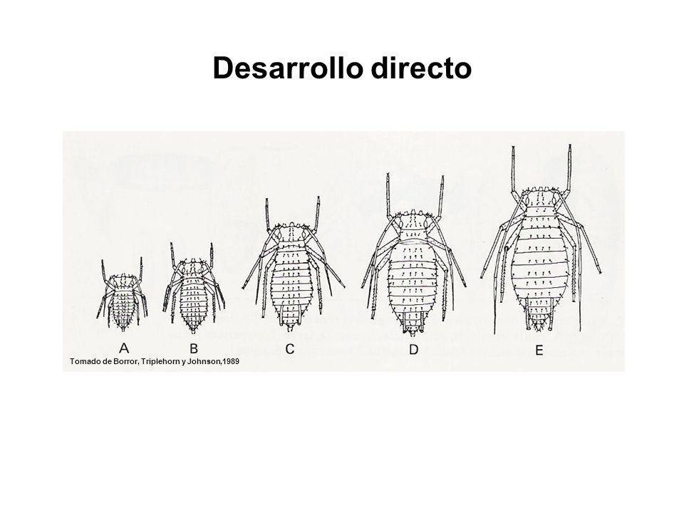 Desarrollo directo Chaetosiphon fragaefolii (Strawberry aphid)