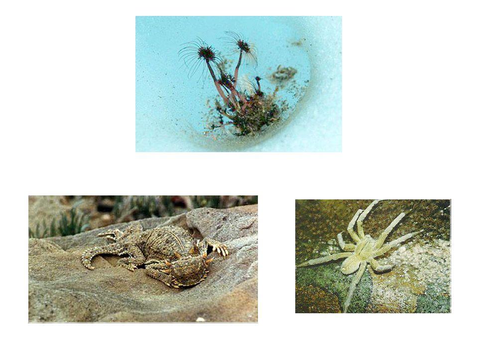 Deserts Corymorpha parvula