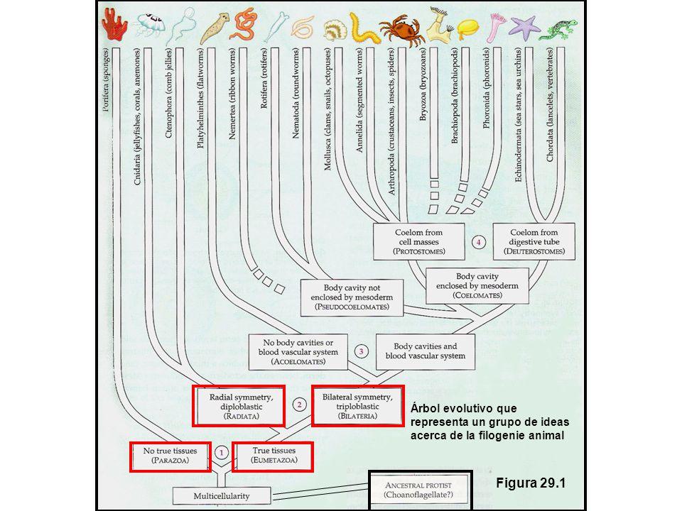 Arbol evolutivo que representa solamente un grupo de ideas acerca de la filogenie animal