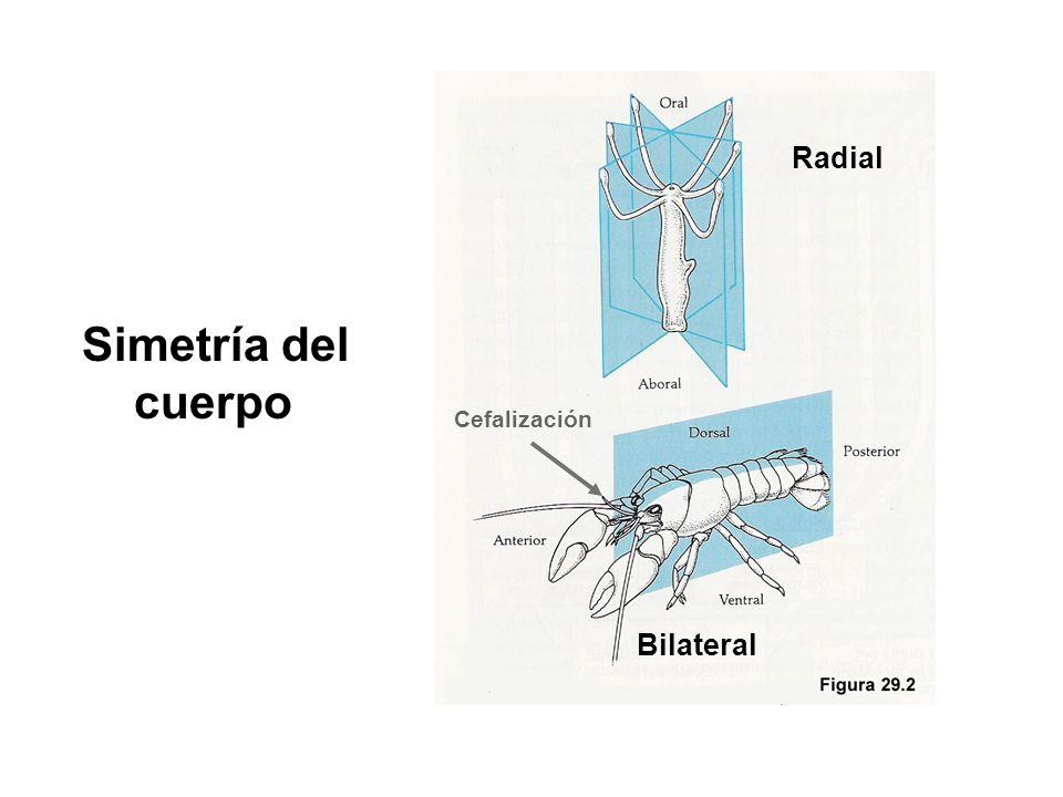 Simetría del cuerpo Radial Bilateral Cefalización