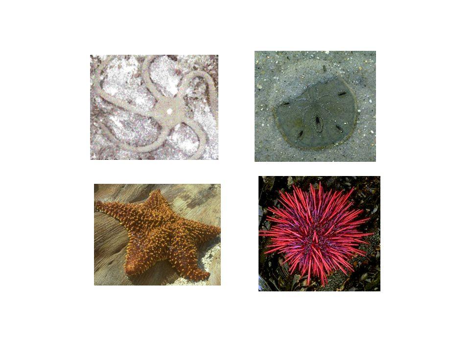 Los echinodermos tienen simetria radial