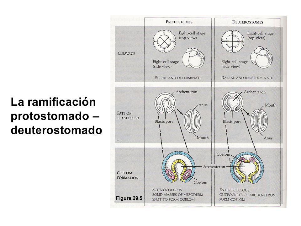 La ramificación protostomado – deuterostomado