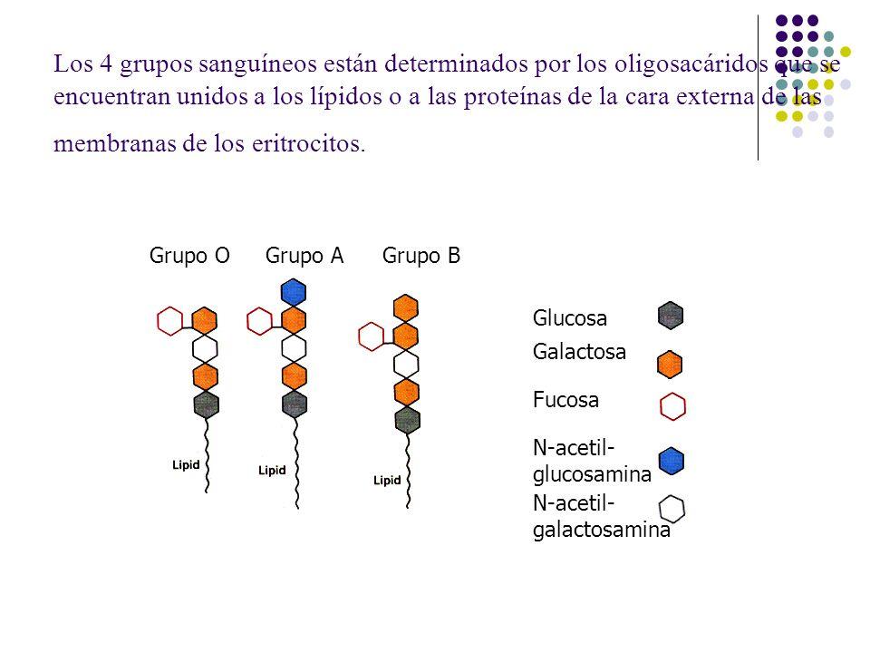 Los 4 grupos sanguíneos están determinados por los oligosacáridos que se encuentran unidos a los lípidos o a las proteínas de la cara externa de las membranas de los eritrocitos.