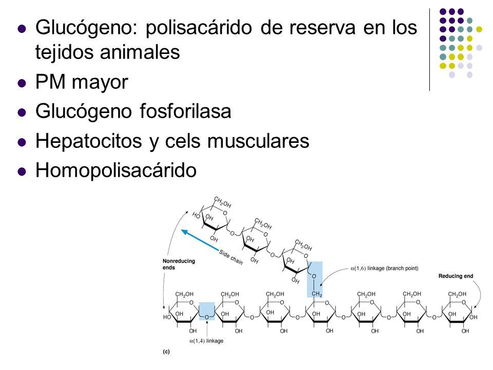 Glucógeno: polisacárido de reserva en los tejidos animales