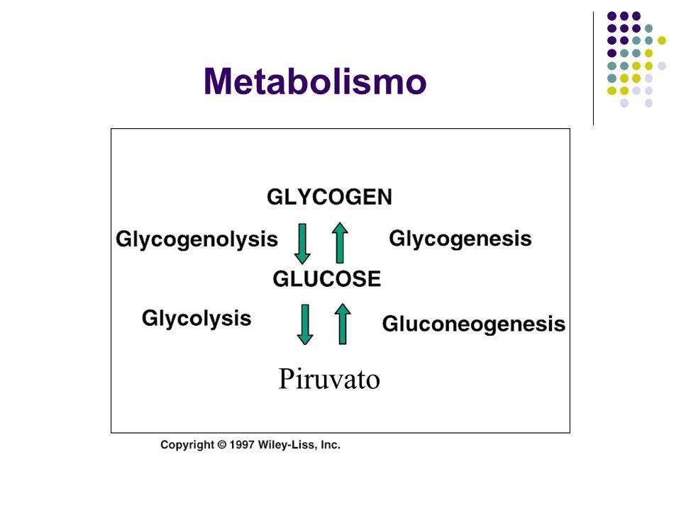 Metabolismo Piruvato