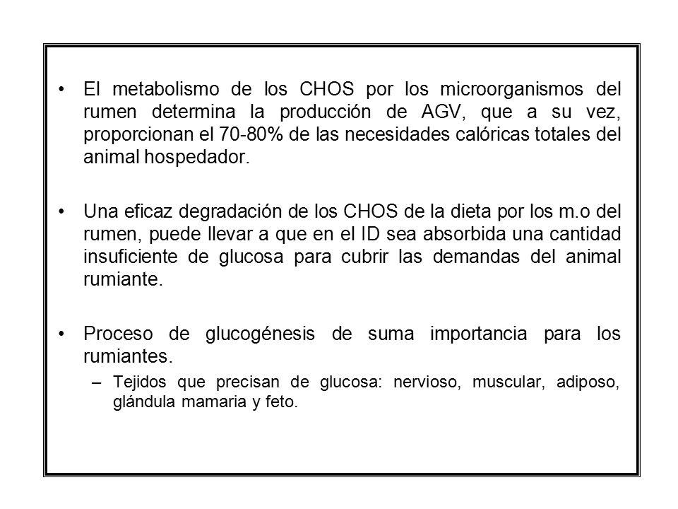 Proceso de glucogénesis de suma importancia para los rumiantes.