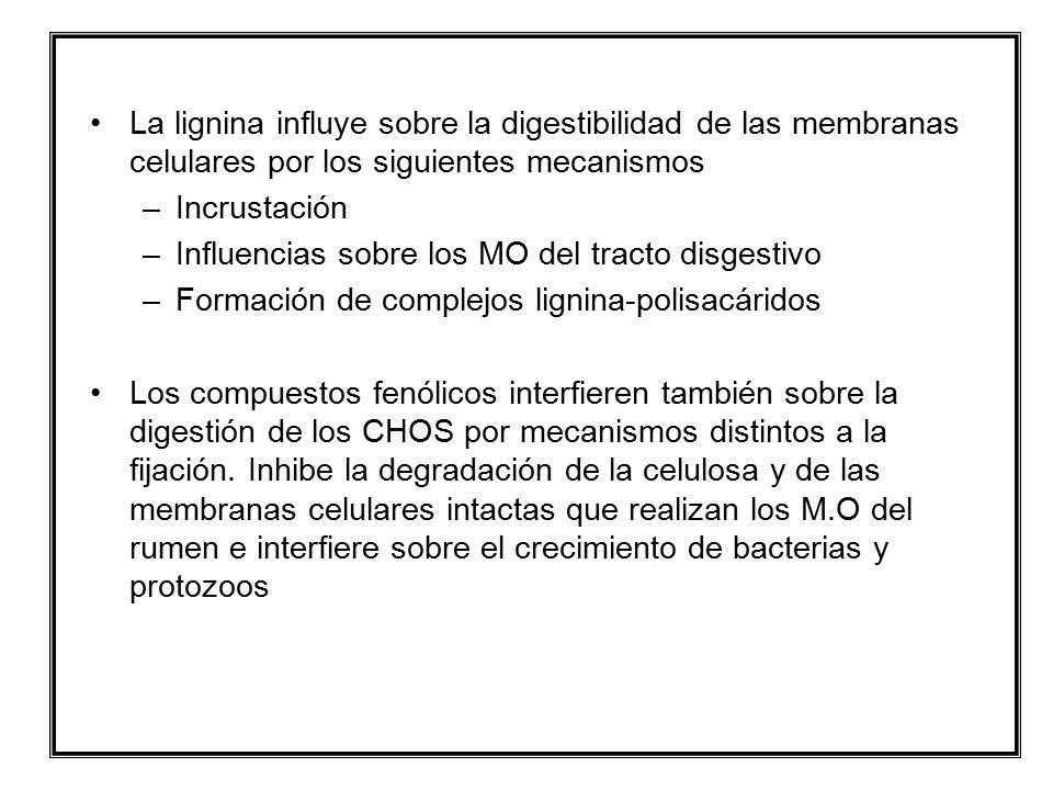 La lignina influye sobre la digestibilidad de las membranas celulares por los siguientes mecanismos