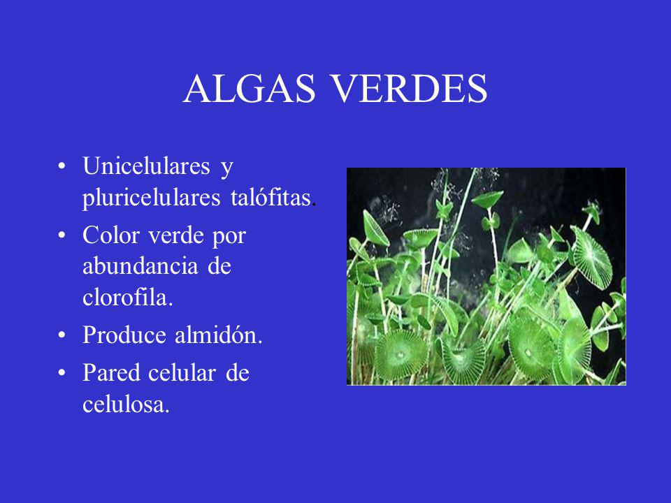 ALGAS VERDES Unicelulares y pluricelulares talófitas.
