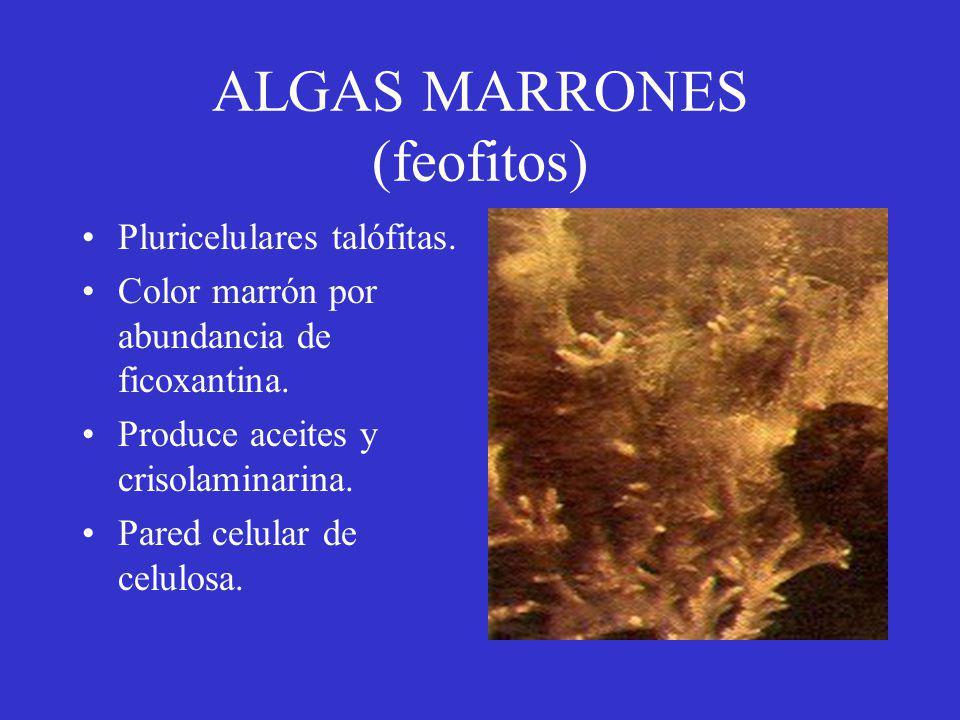 ALGAS MARRONES (feofitos)