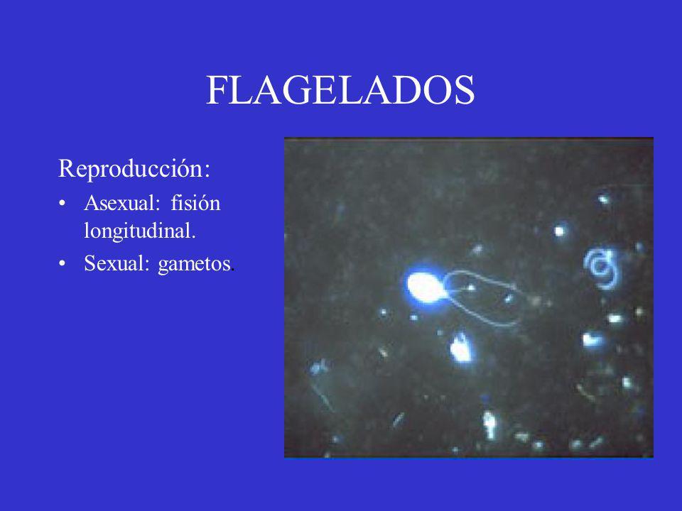 FLAGELADOS Reproducción: Asexual: fisión longitudinal.