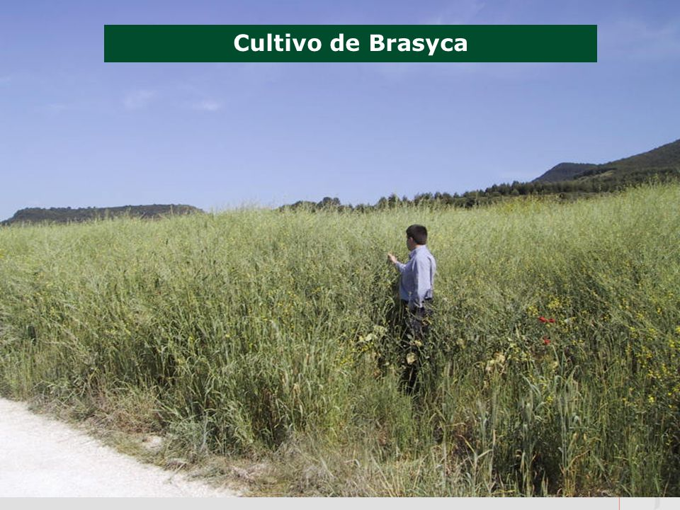 Cultivo de Brasyca