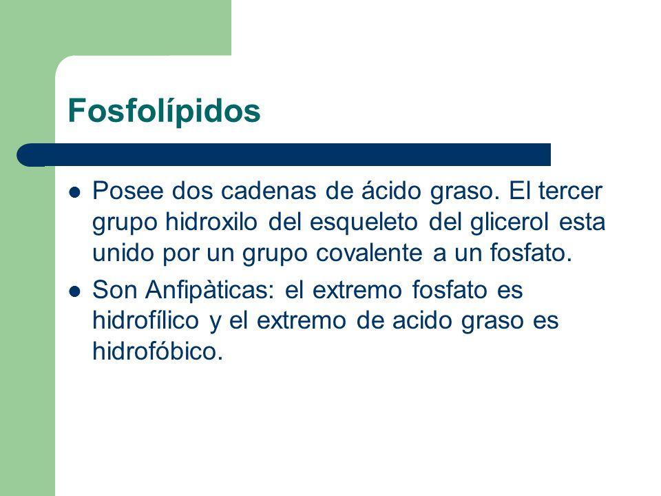 Fosfolípidos Posee dos cadenas de ácido graso. El tercer grupo hidroxilo del esqueleto del glicerol esta unido por un grupo covalente a un fosfato.