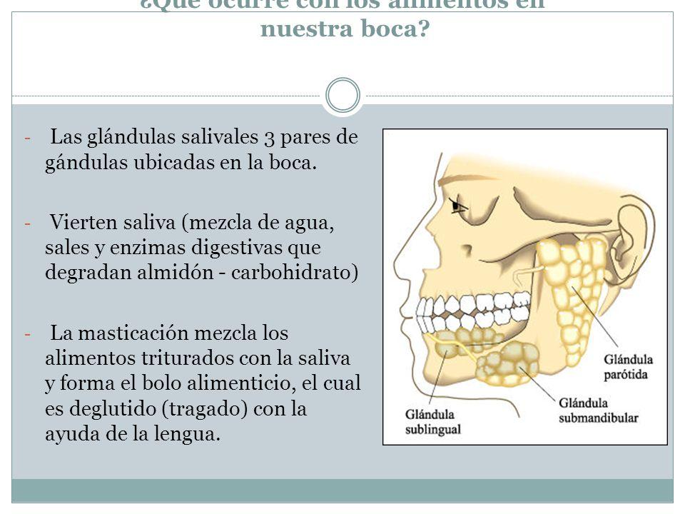¿Qué ocurre con los alimentos en nuestra boca