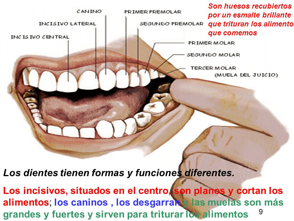 Los dientes tienen formas y funciones diferentes.