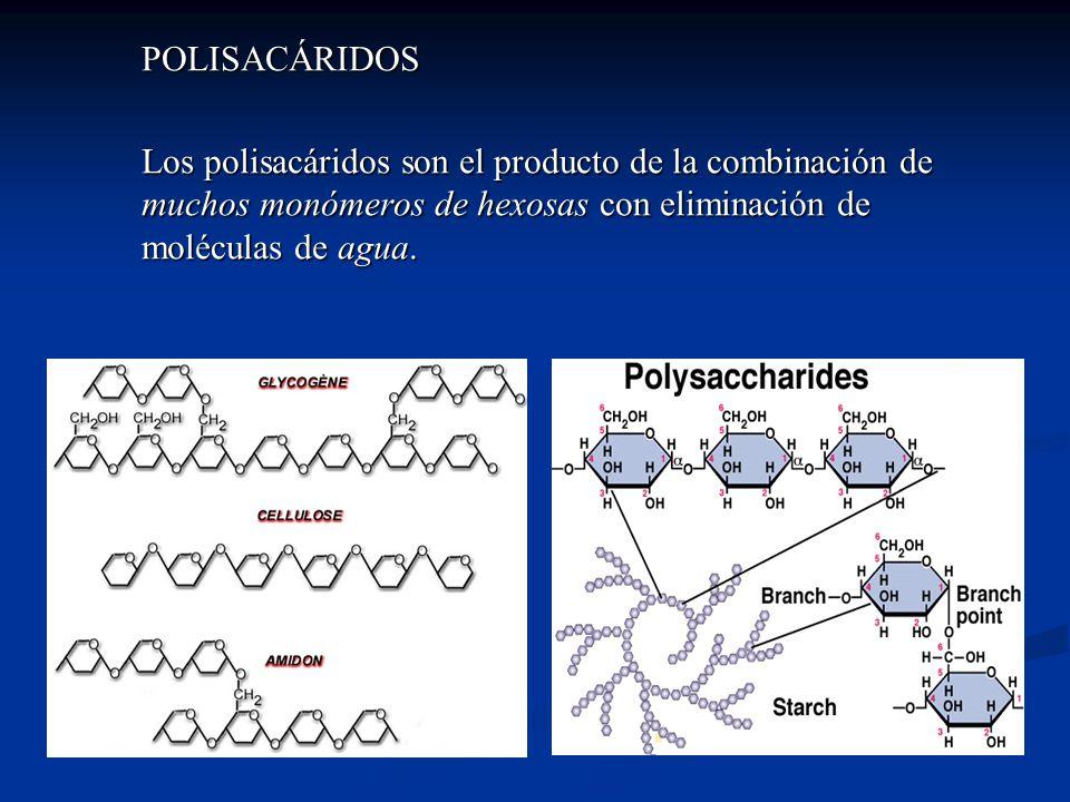 POLISACÁRIDOS Los polisacáridos son el producto de la combinación de muchos monómeros de hexosas con eliminación de moléculas de agua.