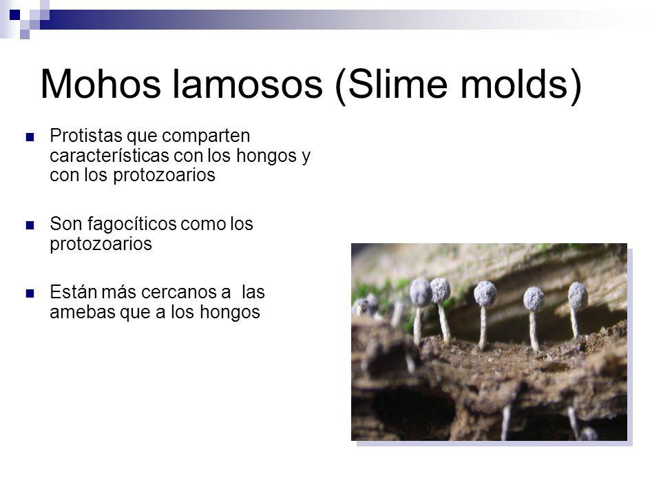 Mohos lamosos (Slime molds)