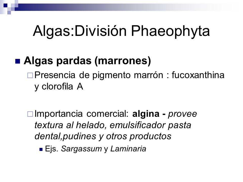 Algas:División Phaeophyta
