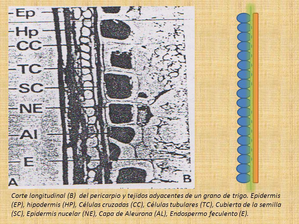 Corte longitudinal (B) del pericarpio y tejidos adyacentes de un grano de trigo.